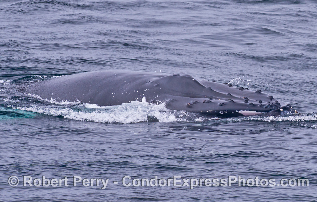 A humpback moves ahead quickly at the end of a surface feeding lunge.