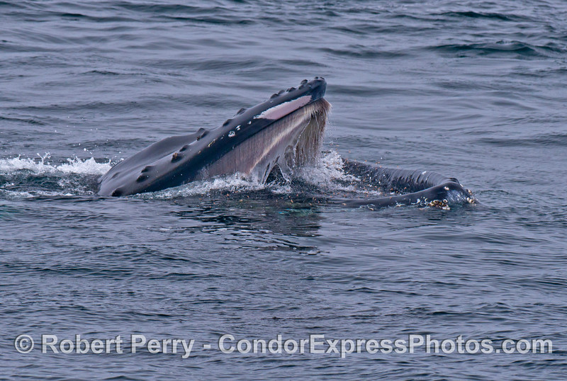 Baleen is clearly visible in the upper jaw as this humpback whale lunges forward to engulf krill in the water.