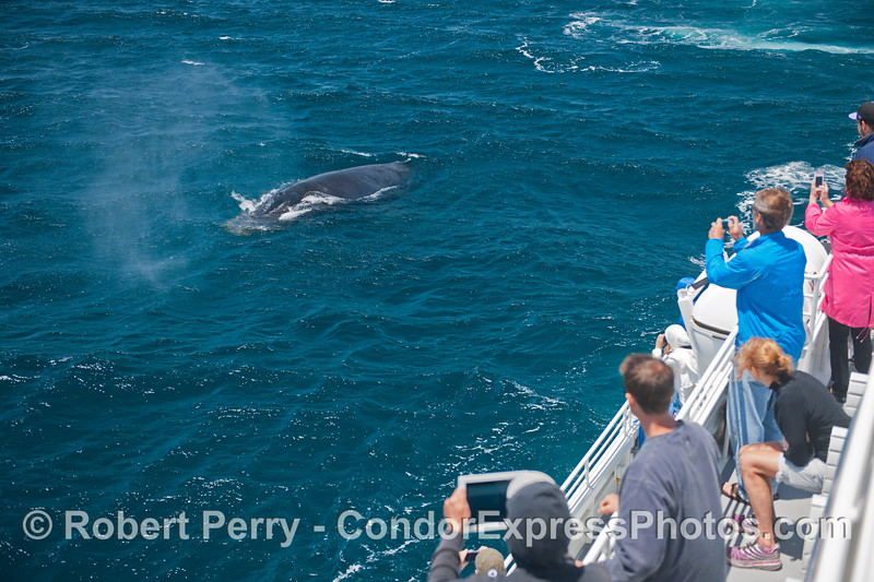 Megaptera novaeangliae & passengers 2014 05-31 SB Channel-009