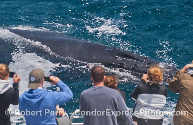 Megaptera novaeangliae & passengers 2014 05-31 SB Channel-k-023