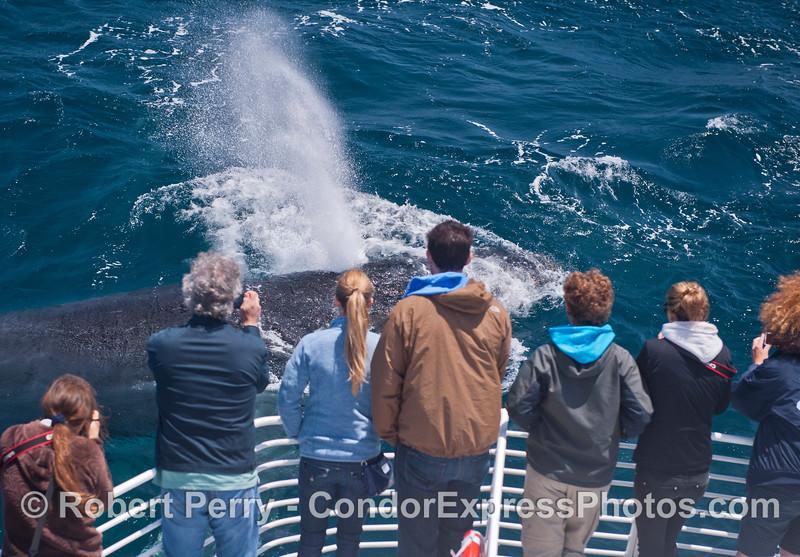 Megaptera novaeangliae & passengers 2014 05-31 SB Channel-j-038