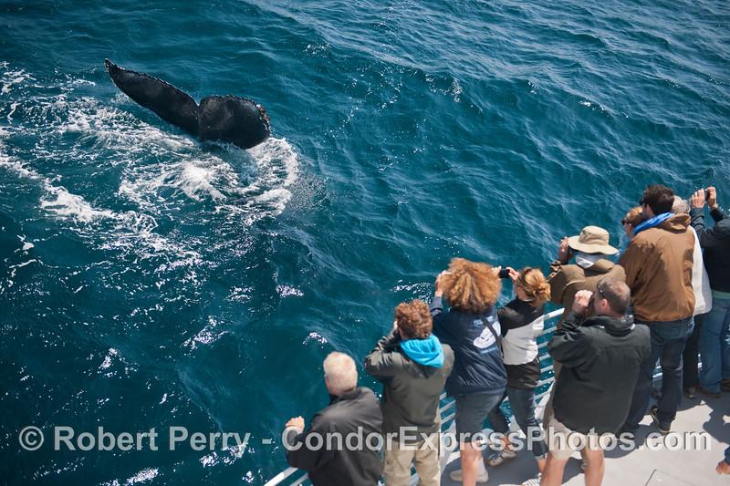 Megaptera novaeangliae tail fluke & passengers 2014 05-31 SB Channel-c-009