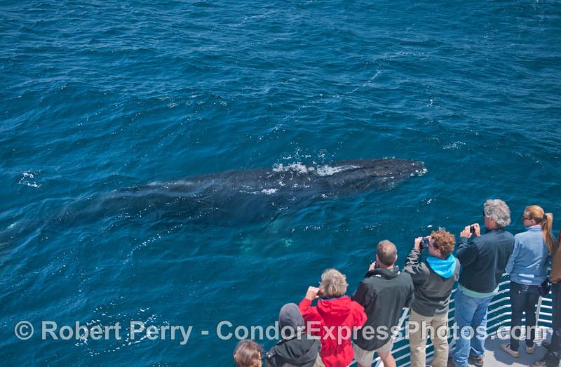 Megaptera novaeangliae & passengers 2014 05-31 SB Channel-k-005