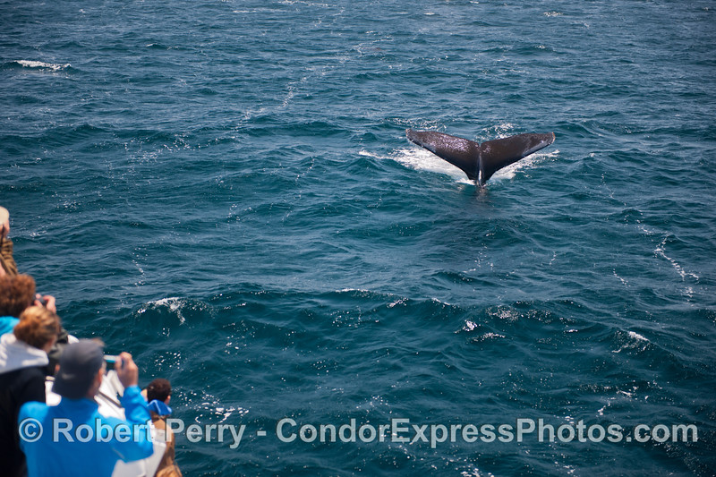 Megaptera novaeangliae tail fluke & passengers 2014 05-31 SB Channel-001