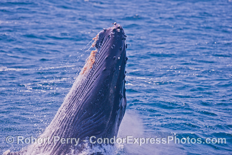 1-Megaptera novaeangliae breach seq 2014 05-31 SB Channel-002