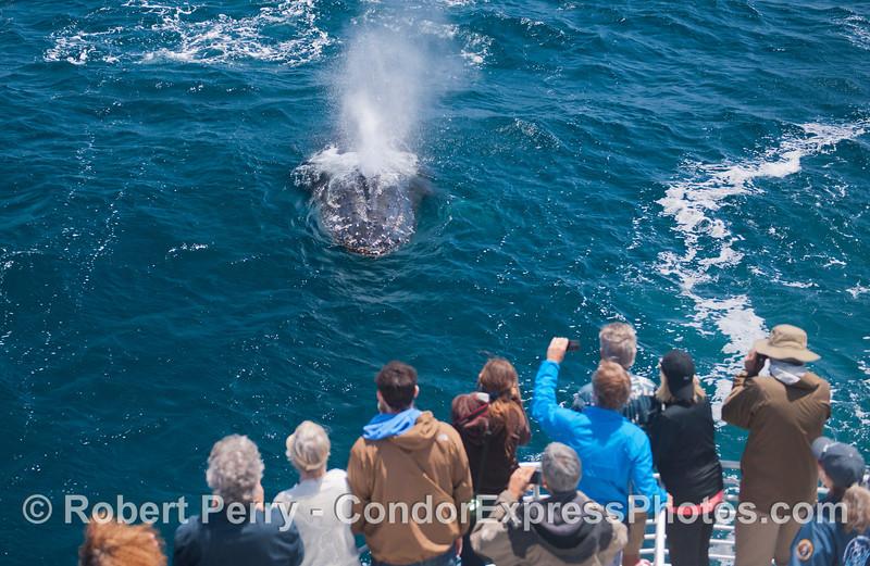 Megaptera novaeangliae & passengers 2014 05-31 SB Channel-f-029