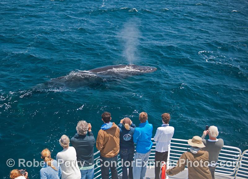 Megaptera novaeangliae & passengers 2014 05-31 SB Channel-e-014