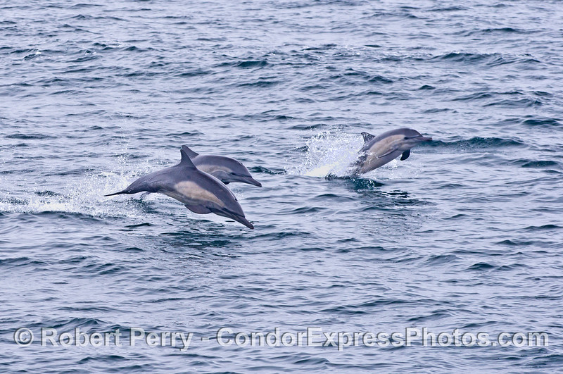 A trio of leaping common dolphins.