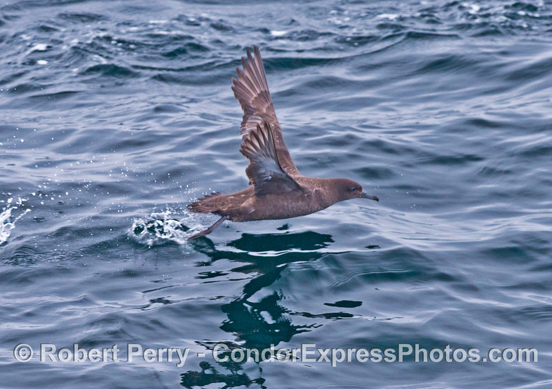 A sooty shearwater taking off.