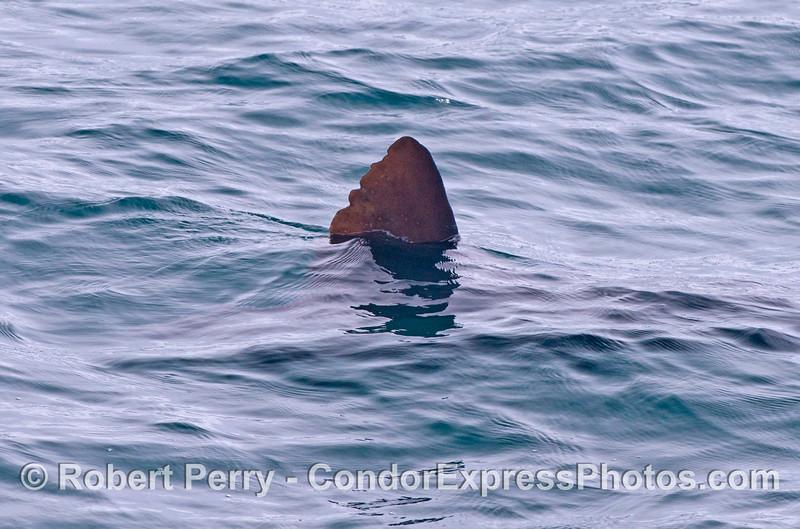 Shark !!   No, actually it's the dorsal fin of an ocean sunfish or Mola mola.