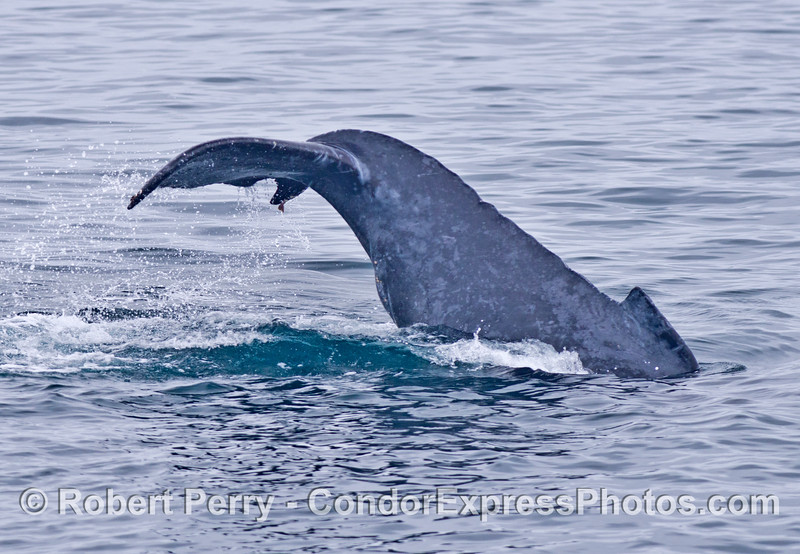 Humpback whale calf - tail lobbing.