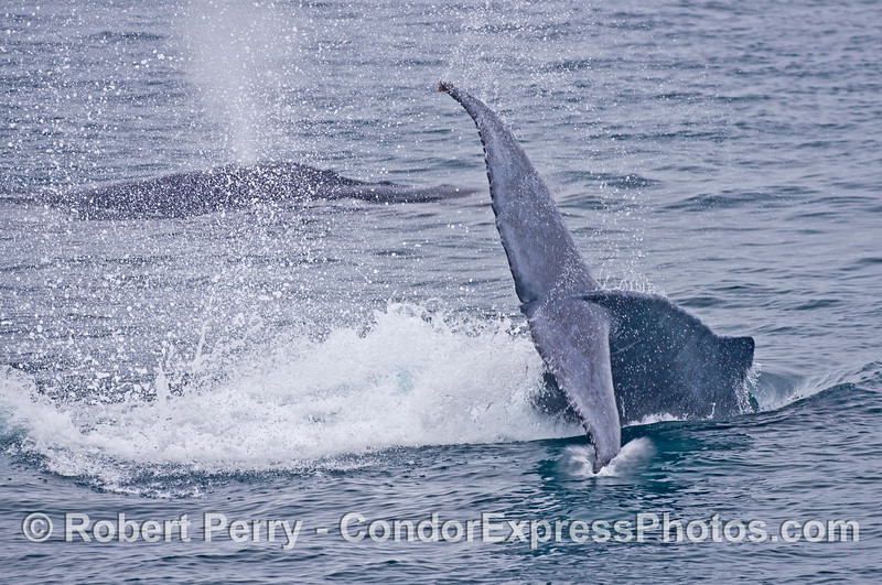 Humpback calf lobs tail as mother swims nearby.