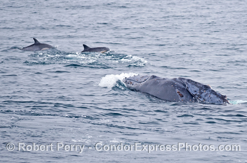 Humpback whale calf does a half breach perhaps in response to the passing common dolphins.