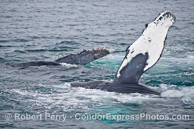 Double pectoral fin fun:  mom and her calf roll over and show their fins at the same time!