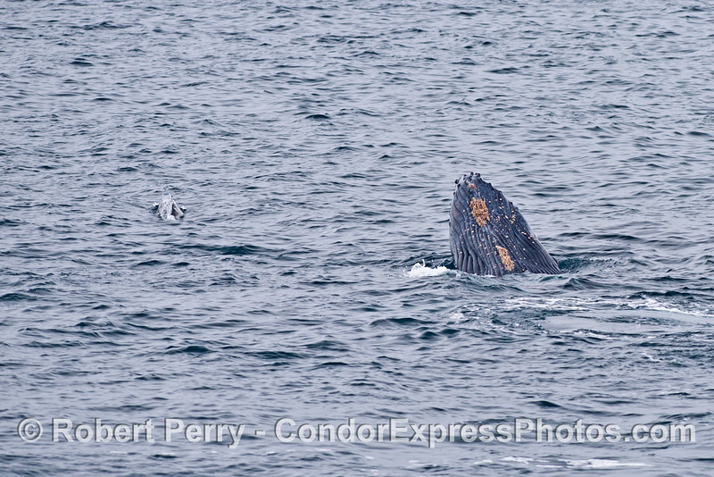 Humpback calf spy hops near another common dolphin.