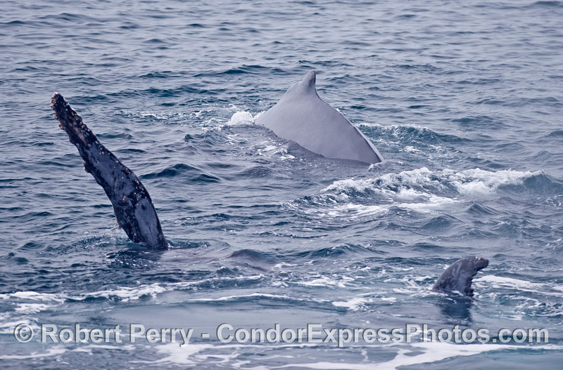 The humpback calf has rolled over on its side as mom cruises alongside.
