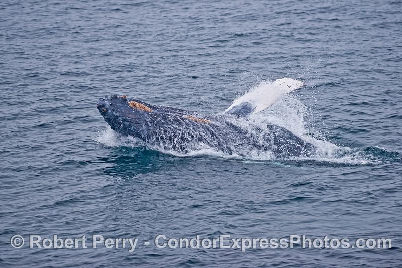 Humpback whale calf mini-breach.