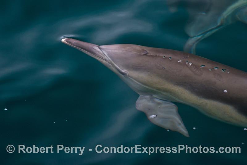 A common dolphin emits a small stream of bubbles.