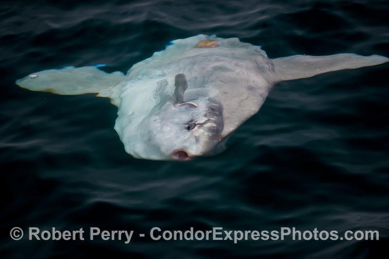 Ocean sunfish (Mola mola).