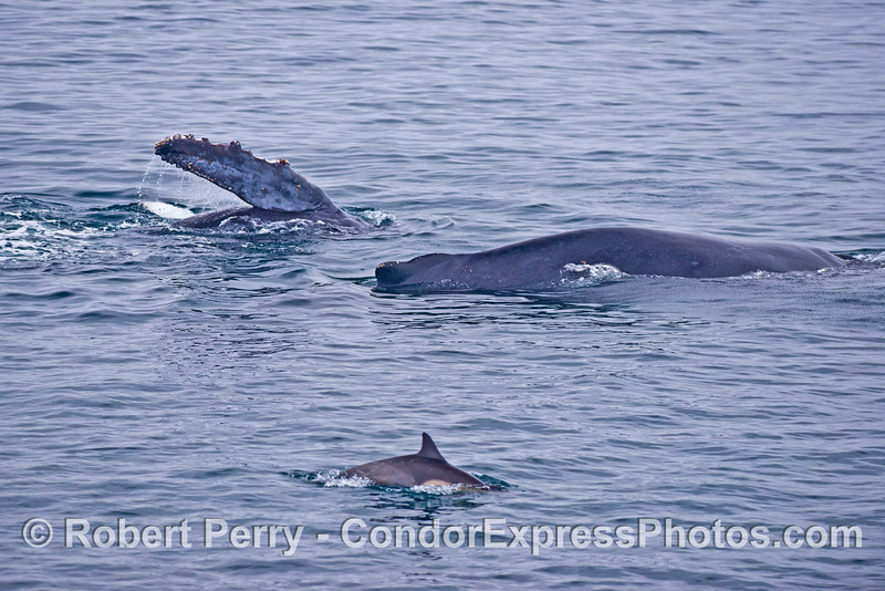 Action on the feeding grounds:  a common dolphin, an adult female humpback whale and her calf (rolling over with long pectoral fins in the air)