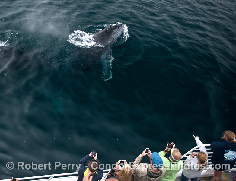 "A young humpback whale calf says ""hi."""