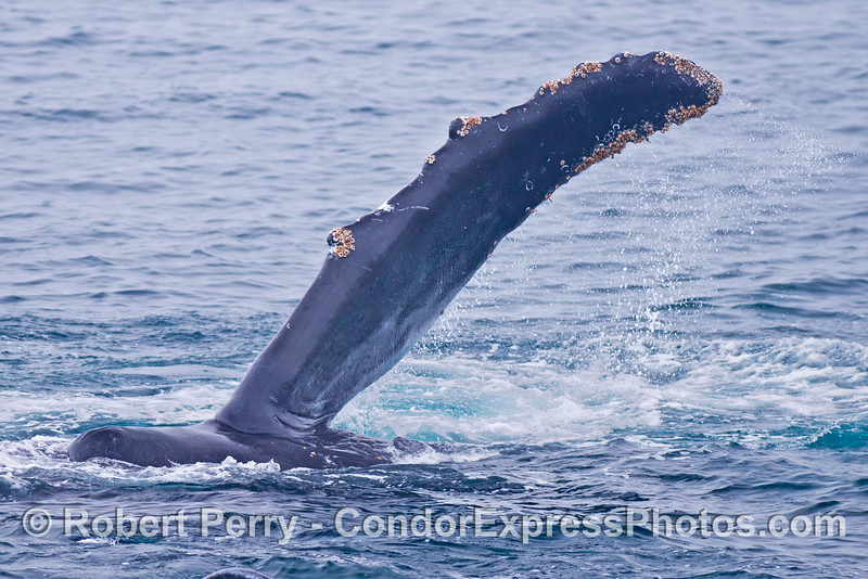 Adult humpback whale - pectoral fin.