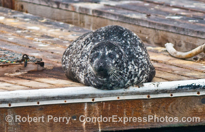 Pacific harbor seal on bait barge in Santa Barbara Harbor.