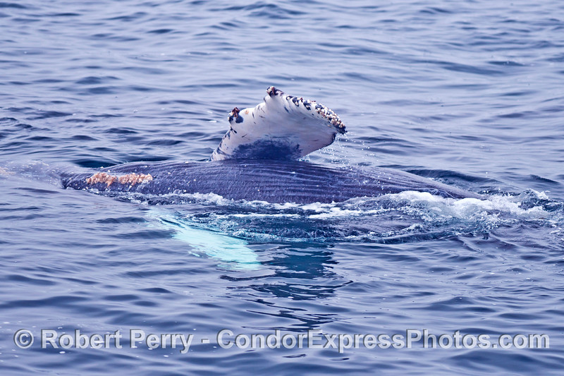 "One of the humpback whale calves does an ""El Rollo."""