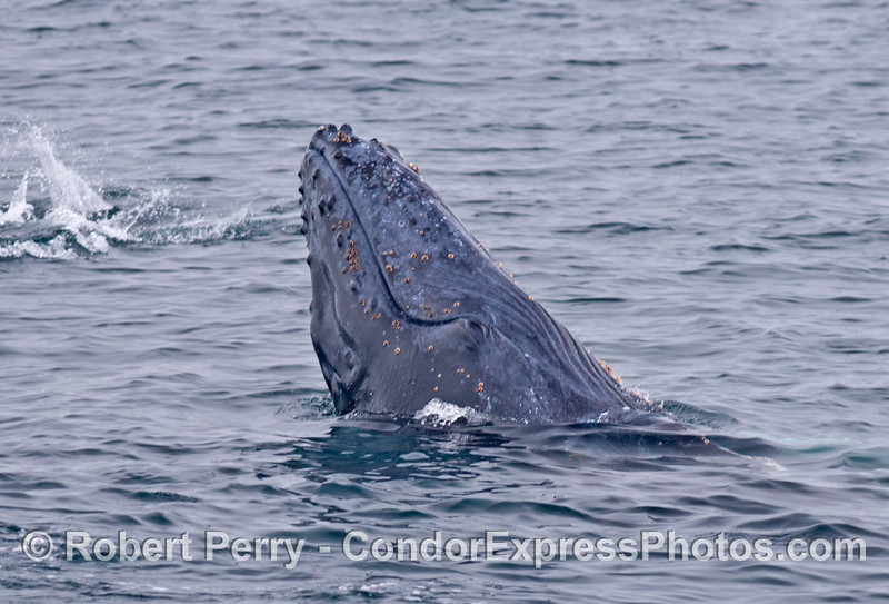 A half hearted breach by a humpback calf. (The top of the rostrum is to the left, and the ventral grooves are seen to the right)