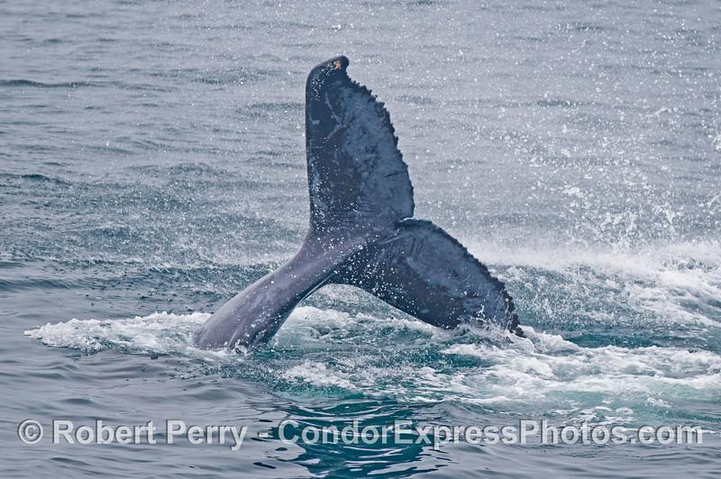 Megaptera novaeangliae calf tail throw 2014 06-11 SB Channel-314