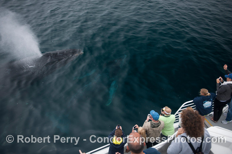 Humans and friendly humpbacks have a love fest.