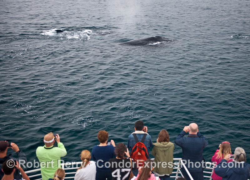 Whales watch humans watching whales.  That's what it's all about on the Condor Express.