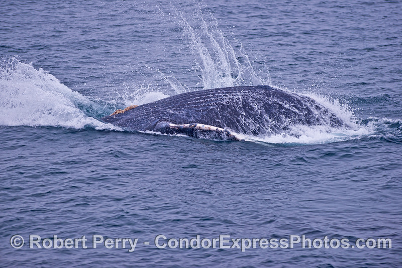 Humpback calf sets off a nice splash after landing a mini-breach.