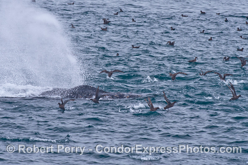A mighty spout from this humpback whale sends the sooty shearwaters scampering away.