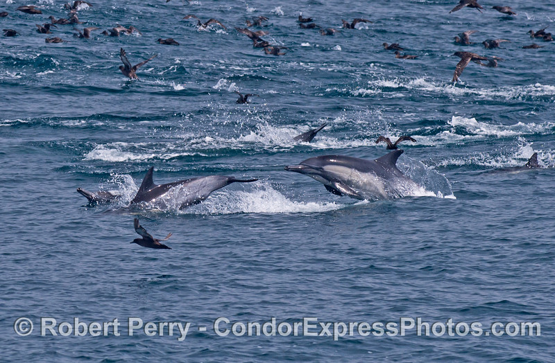 Dolphin antics on a feeding hot spot.