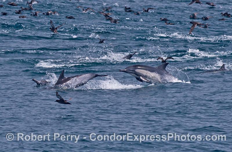Dolphin antics on a feeding hot spot.