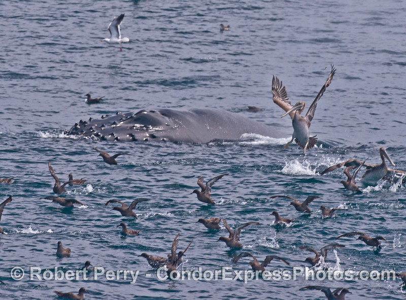 A surprise surfacing startles all the seabirds.