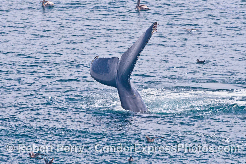 Tail fluke sequence - image 3 of 3