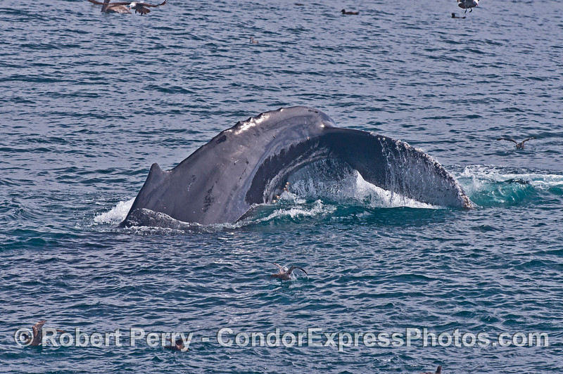 Tail fluke sequence - image 1 of 3