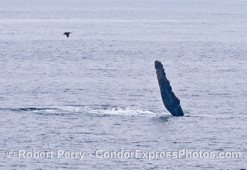 A pectoral slapping humpback whale (and passing pelican).