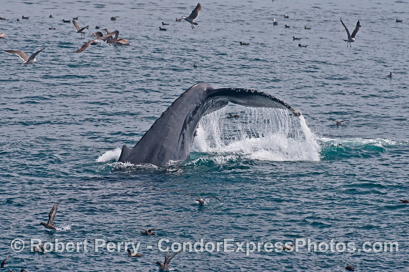 Tail fluke sequence - image 2 of 3