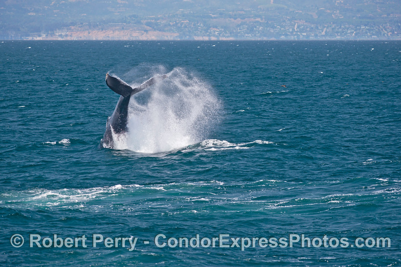 A massive humpback tail throw on a breezy day with the Santa Barbara coastline in back.