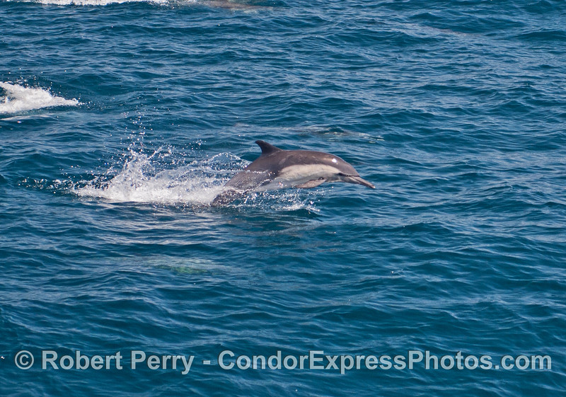 A leaping long beaked common dolphin.