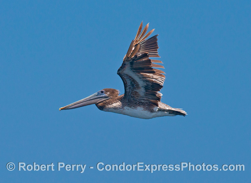 A juvenile brown pelican.