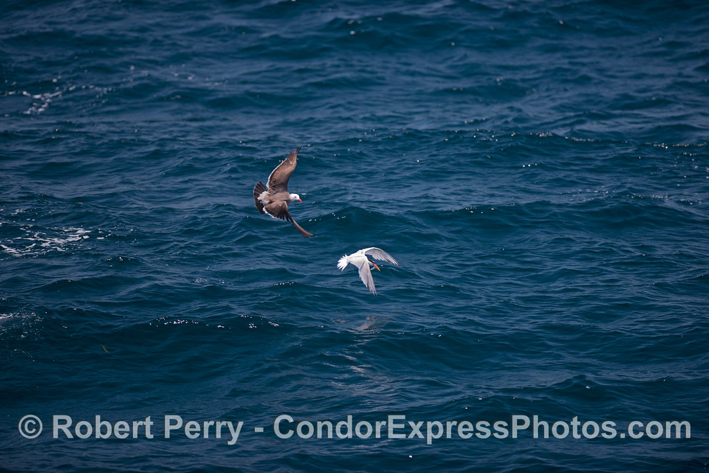 An elegant tern with an anchovy in its mouth is persued by an adult Heermann's gull.
