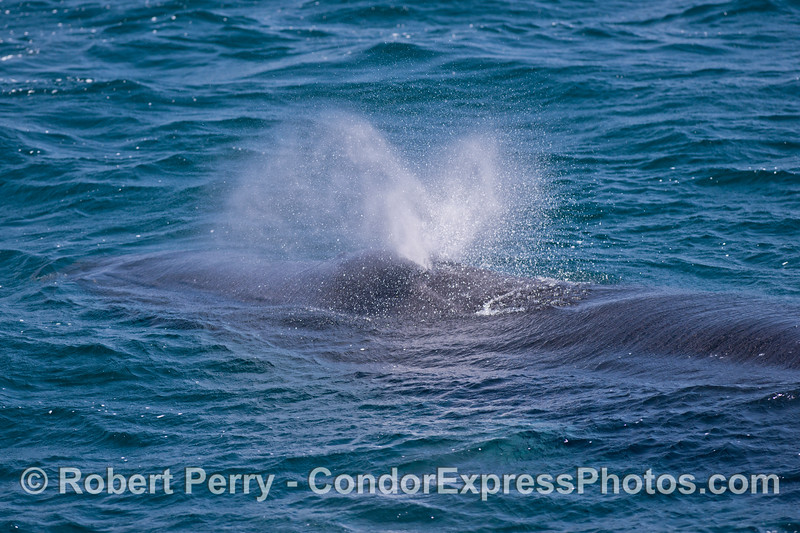 A close look at the blowholes and spout spray of a friendly humpback whale.