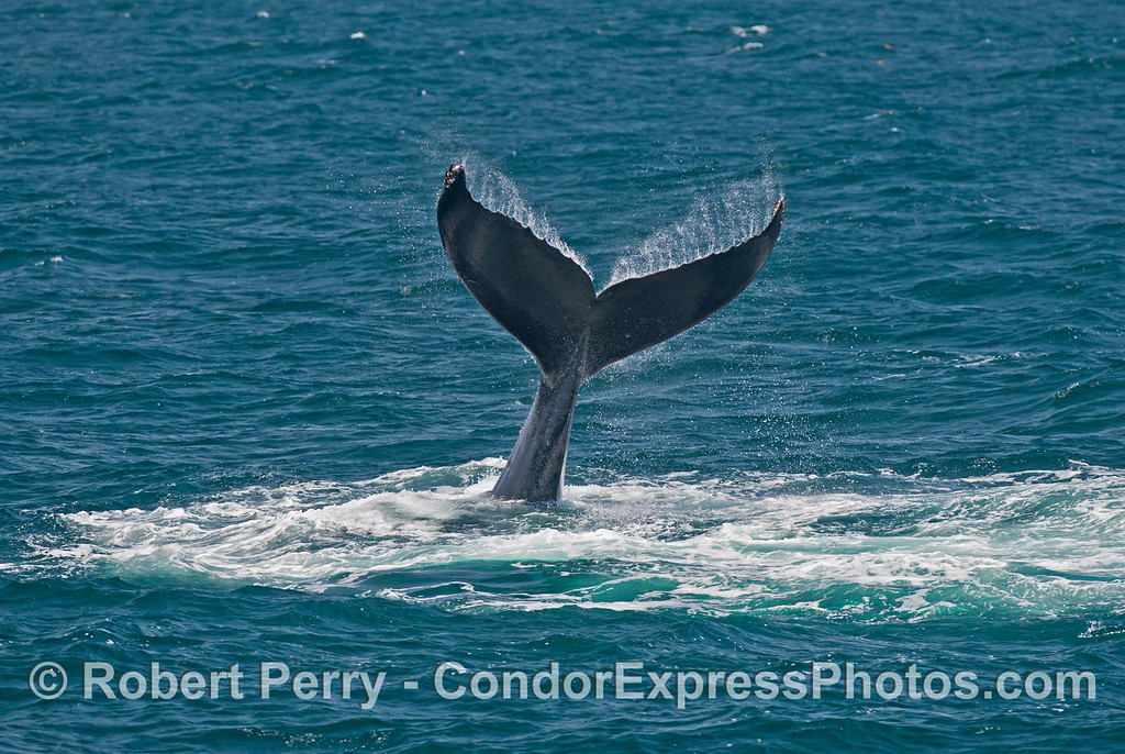 A humpback whale prepares to slam its tail agains the ocean surface.