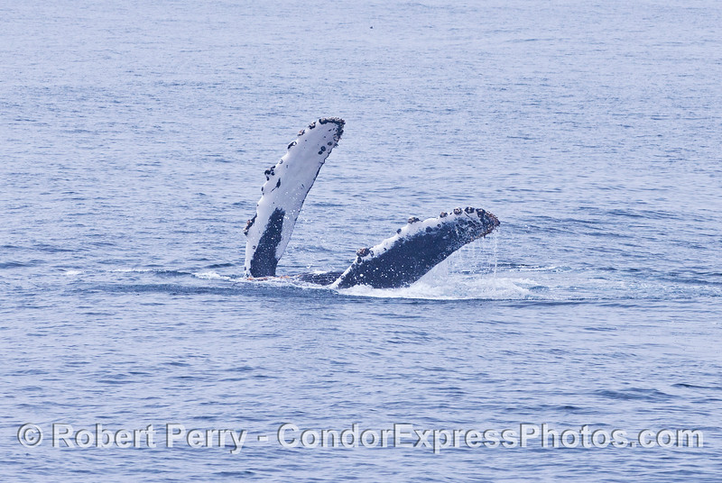 A humpback shows us both pectoral fins.