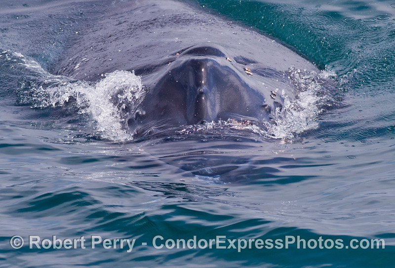 """An extreme close up of """"Shorty,"""" the humpback calf."""