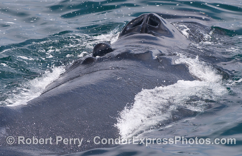 "A large female humpback the crew named ""Scarlet"" because she wears a deep propeller scar."